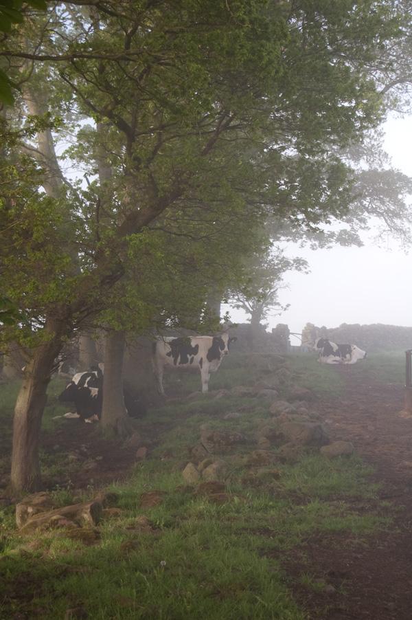 cows1_600
