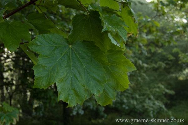 leaf4_600