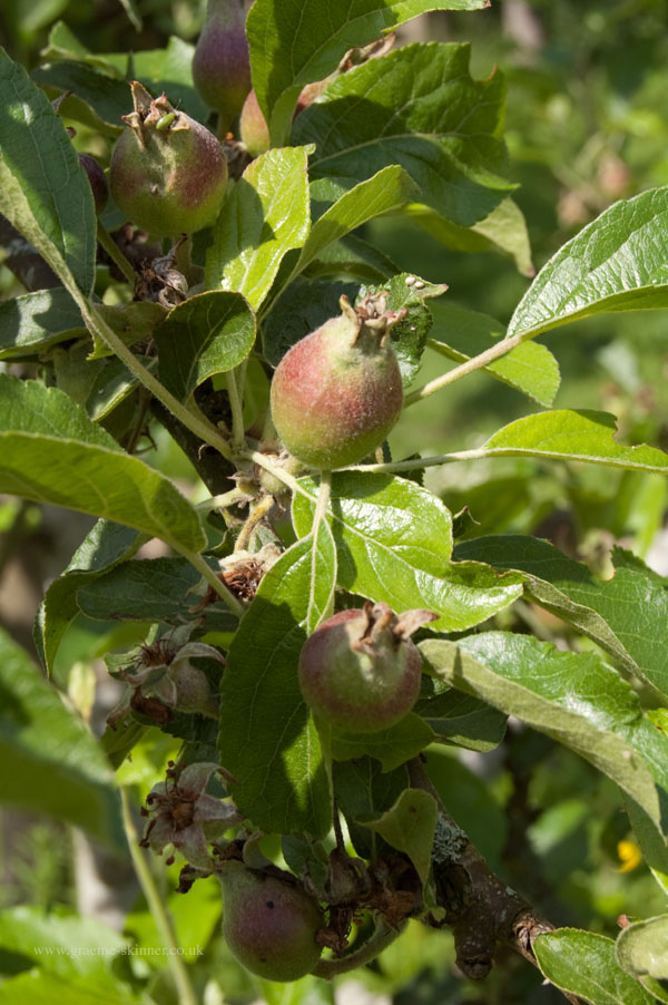apples600